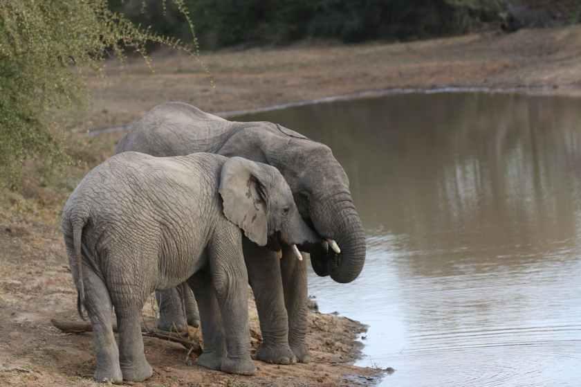 two gray elephants near river