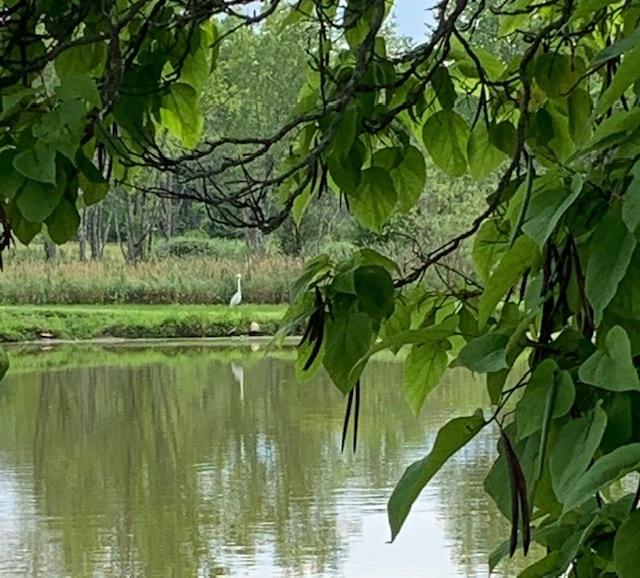 7-23-19 Heron and Acacia