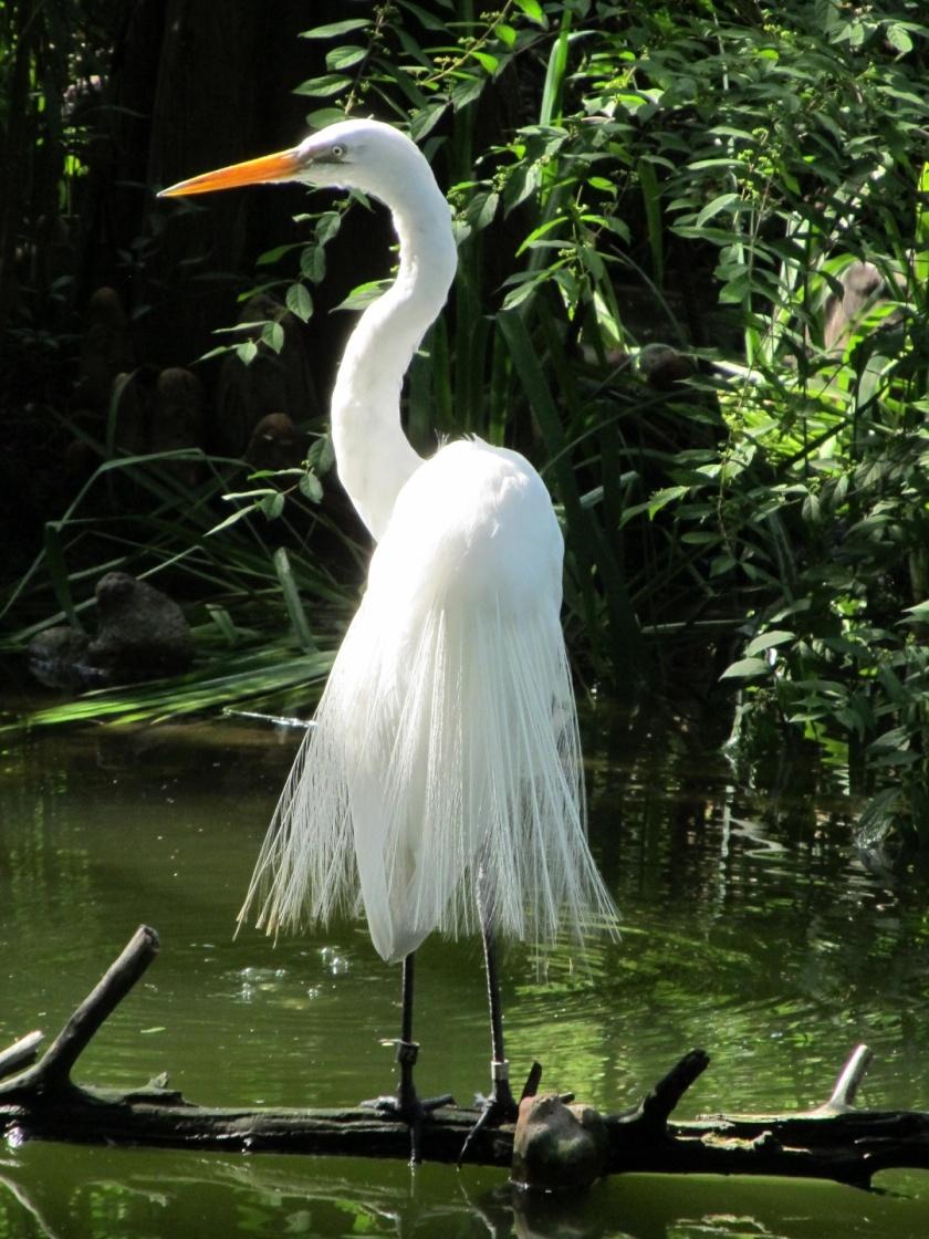 egret-portrait