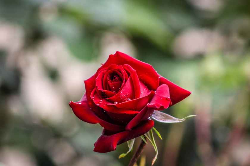 bokeh photography of red rose